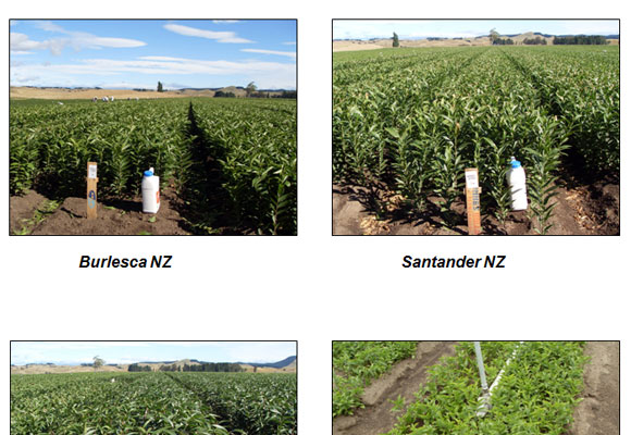 Pictures of field in New Zealand (by Island Bulbs Ltd) (1/10/2011)