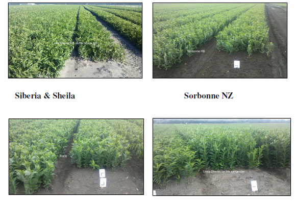 Pictures of field in New Zealand (by Island Bulbs Ltd)    (Dec.11th, 2012)