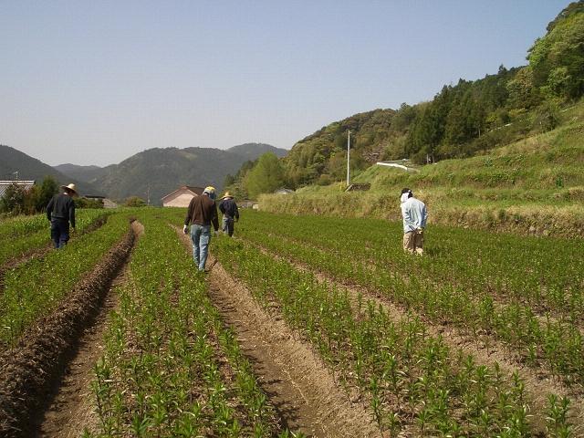 2006年高知産・(輸入一作)早掘り球根(2006/4/28)