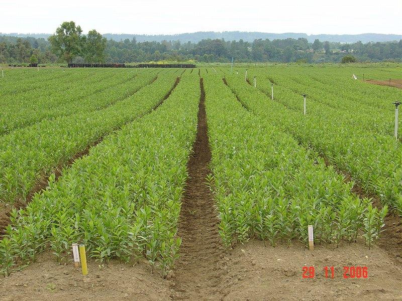 チリ生産地の写真(ピガ社より)Pictures of field in CH (by Piga)(2006/12/15)