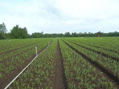 チリ生産地の写真(ワーゲナー社より)Pictures of field in CH (by Wagenaar Lilies)(2006/12/14)